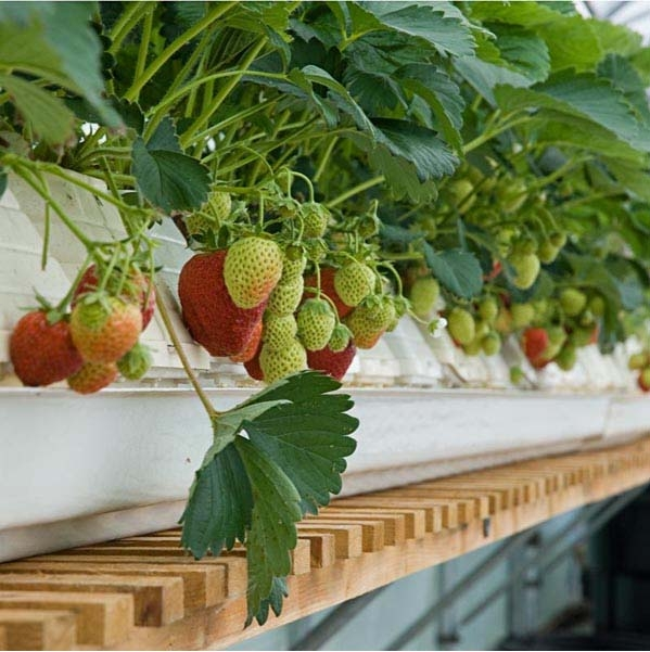 strawberries growing in hydroponic wick system