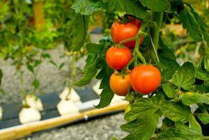 Hydroponically grown tomatoes