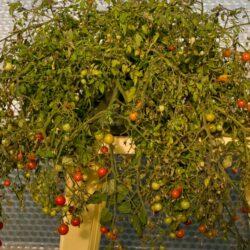 tomato acorn pot